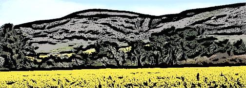 mustard fields2